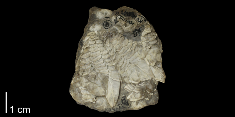 <i> Stramentum elegans </i> from the Turonian Carlile Shale Fm. of Osborne County, Kansas (FHSMIP 111527).