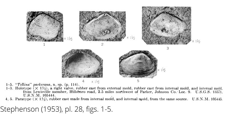 <i> Tellina parkerana </i> from the Cenomanian Woodbine Fm. of Texas (Stephenson 1953).