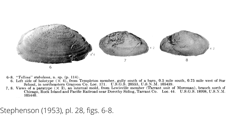 <i> Tellina stabulana </i> from the Cenomanian Woodbine Fm. of Texas (Stephenson 1953).