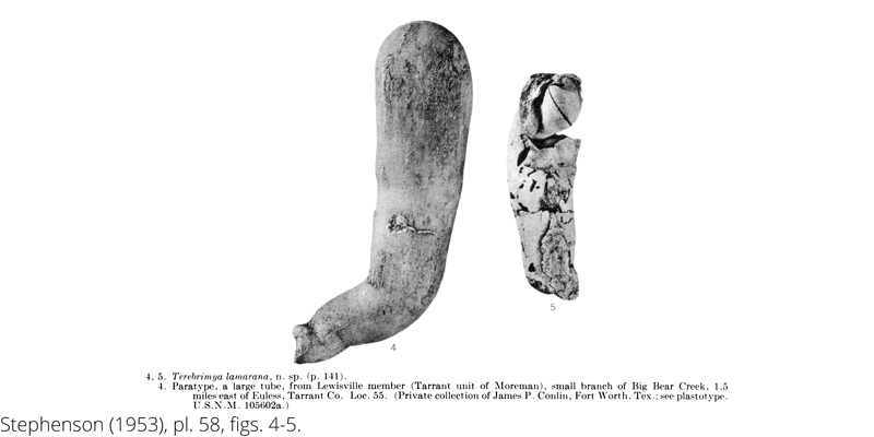 <i> Terebrimya lamarana </i> from the Cenomanian Woodbine Fm. of Texas (Stephenson 1953).