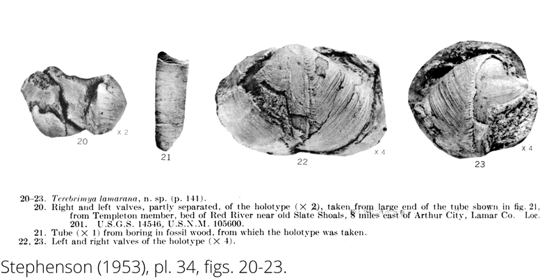 <i> Terebrimya lamarana </i> from the Cenomanian Woodbine Fm. of Texas (Stephenson 1953).