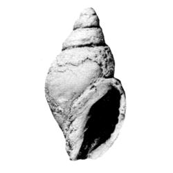 Tovula microlirae