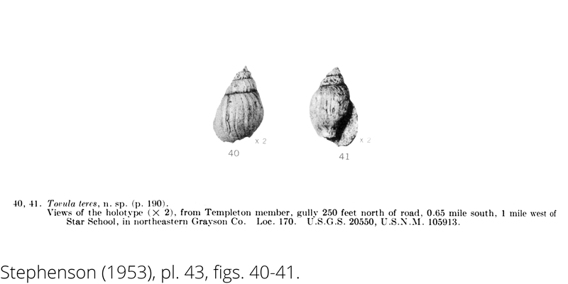 <i> Tovula teres </i> from the Cenomanian Woodbine Fm. of Texas (Stephenson 1953).