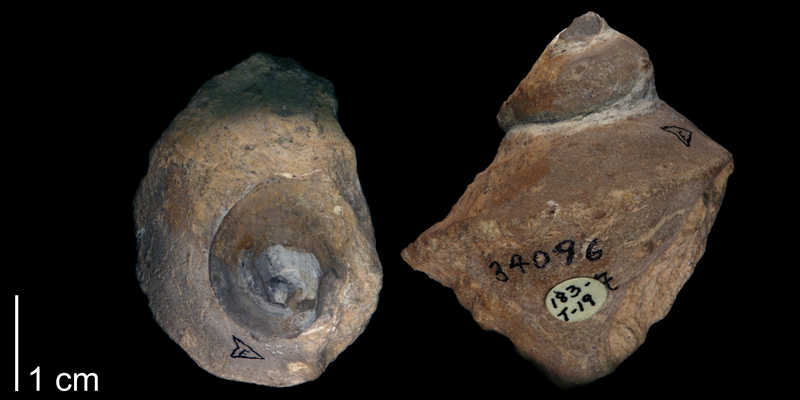 <i> Trichotropis shumardi </i> from the Late Cretaceous Goodland Limestone Fm. of Parker County, Texas (BEG 34096).