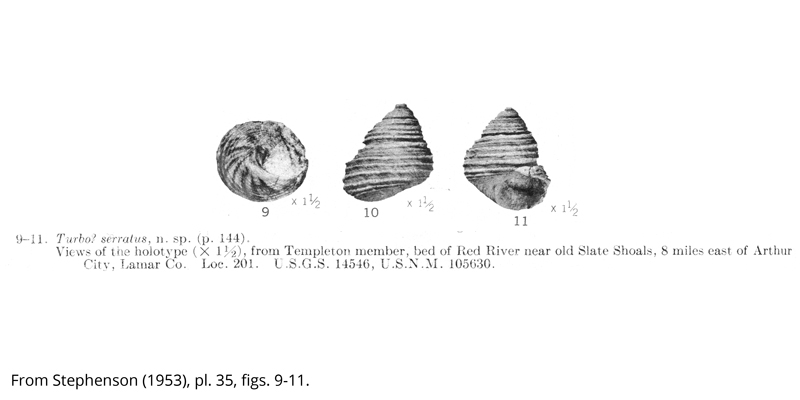 <i> Turbo serratus </i> from the Cenomanian Woodbine Fm. of Texas (Stephenson 1953).