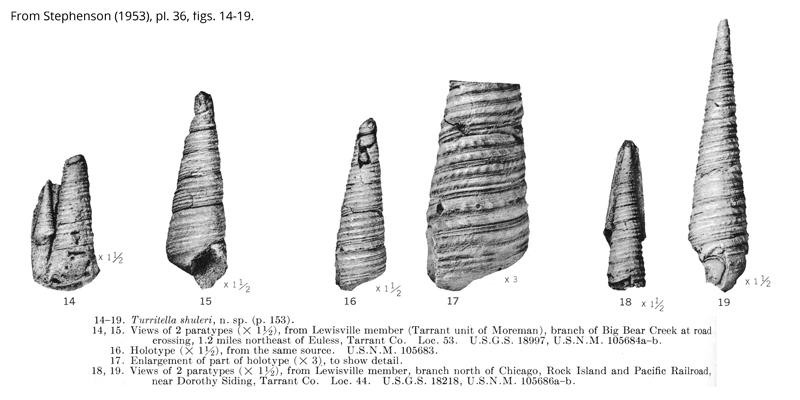 <i> Turritella shuleri </i> from the Cenomanian Woodbine Fm. of Texas (Stephenson 1953).