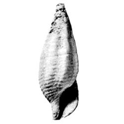 Vascellum elegans