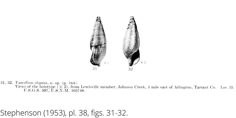 <i> Vascellum elegans </i> from the Cenomanian Woodbine Fm. of Texas (Stephenson 1953).
