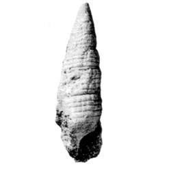 Vascellum fortispirae