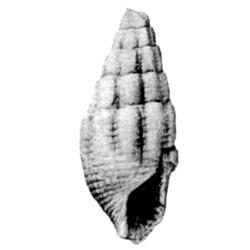 Vascellum magnum