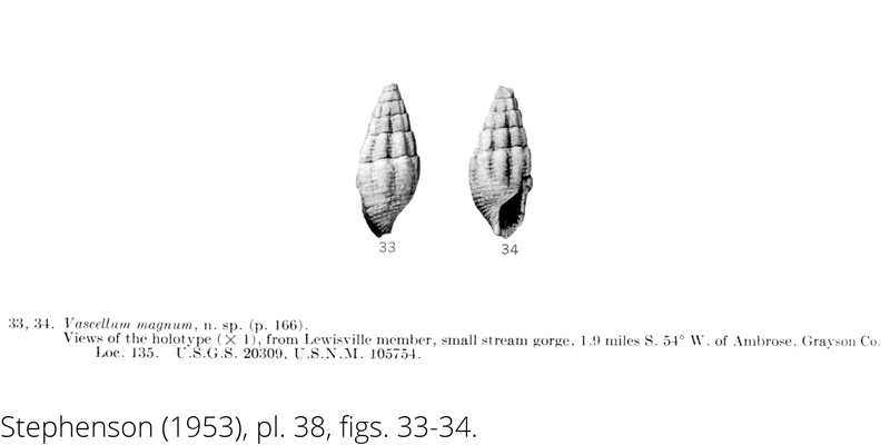 <i> Vascellum magnum </i> from the Cenomanian Woodbine Fm. of Texas (Stephenson 1953).