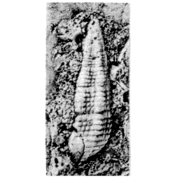 Vascellum minusculum