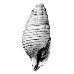 Vascellum mundum