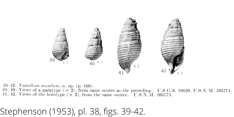 <i> Vascellum mundum </i> from the Cenomanian Woodbine Fm. of Texas (Stephenson 1953).