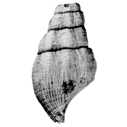 Vascellum pingue