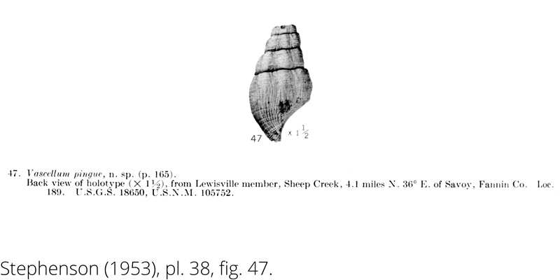 <i> Vascellum pingue </i> from the Cenomanian Woodbine Fm. of Texas (Stephenson 1953).