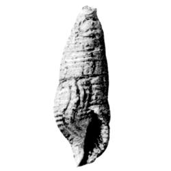 Vascellum procerum