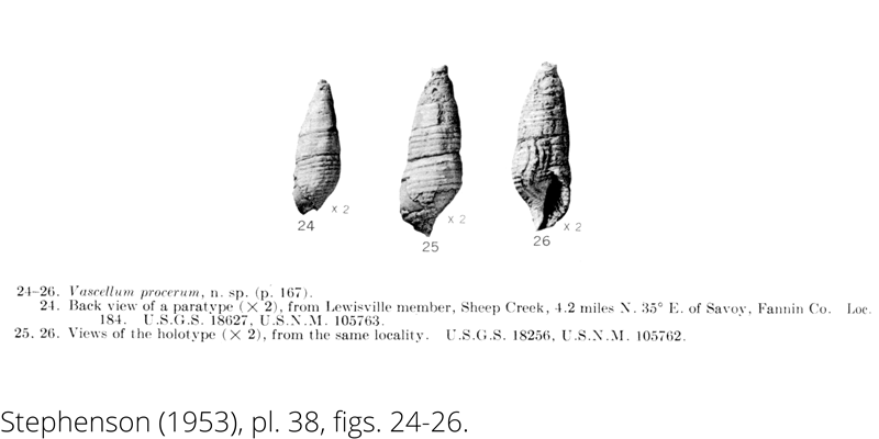 <i> Vascellum procerum </i> from the Cenomanian Woodbine Fm. of Texas (Stephenson 1953).