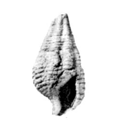 Vascellum robustum