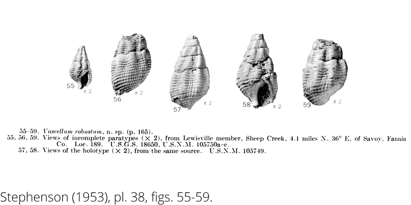 <i> Vascellum robustum </i> from the Cenomanian Woodbine Fm. of Texas (Stephenson 1953).