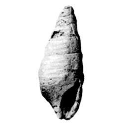 Vascellum subleve