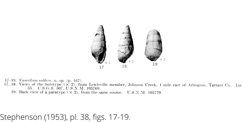 <i> Vascellum subleve </i> from the Cenomanian Woodbine Fm. of Texas (Stephenson 1953).