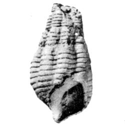Vascellum vascellum