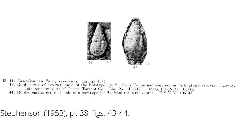 <i> Vascellum vascellum pressulum </i> from the Cenomanian Woodbine Fm. of Texas (Stephenson 1953).