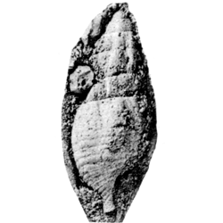 Vascellum vascellum subornatum