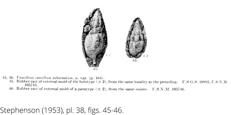 <i> Vascellum vascellum subornatum </i> from the Cenomanian Woodbine Fm. of Texas (Stephenson 1953).