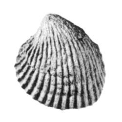 Venericardia alveana