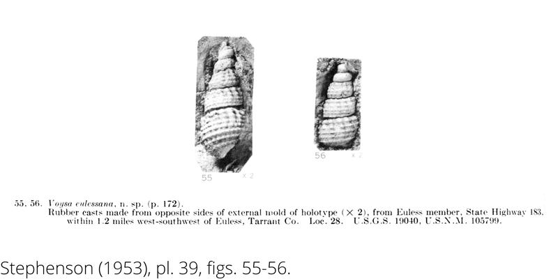 <i> Voysa eulessana </i> from the Cenomanian Woodbine Fm. of Texas (Stephenson 1953).