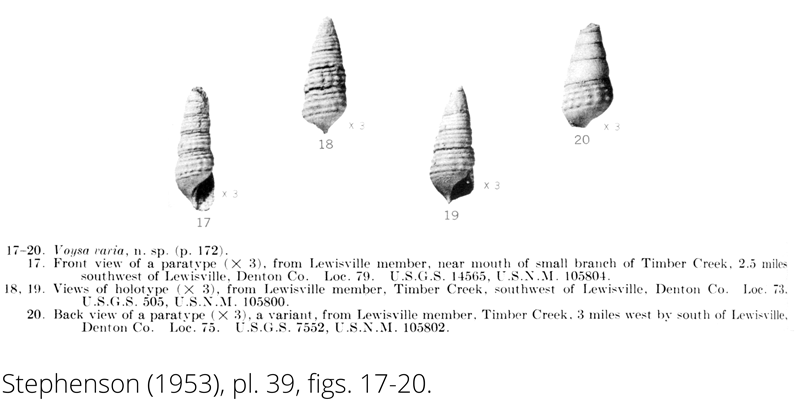 <i> Voysa varia </i> from the Cenomanian Woodbine Fm. of Texas (Stephenson 1953).