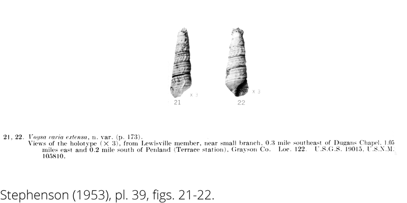<i> Voysa varia extensa </i> from the Cenomanian Woodbine Fm. of Texas (Stephenson 1953).