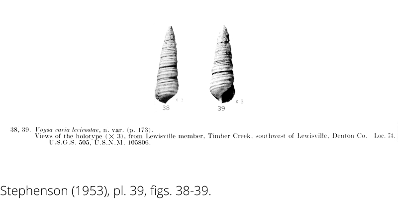 <i> Voysa varia levicostae </i> from the Cenomanian Woodbine Fm. of Texas (Stephenson 1953).