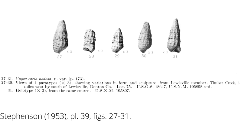 <i> Voysa varia nodosa </i> from the Cenomanian Woodbine Fm. of Texas (Stephenson 1953).