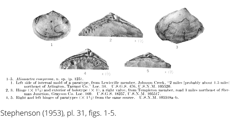 <i> Aliomactra compressa </i> from the Cenomanian Woodbine Fm. of Texas (Stephenson 1953).