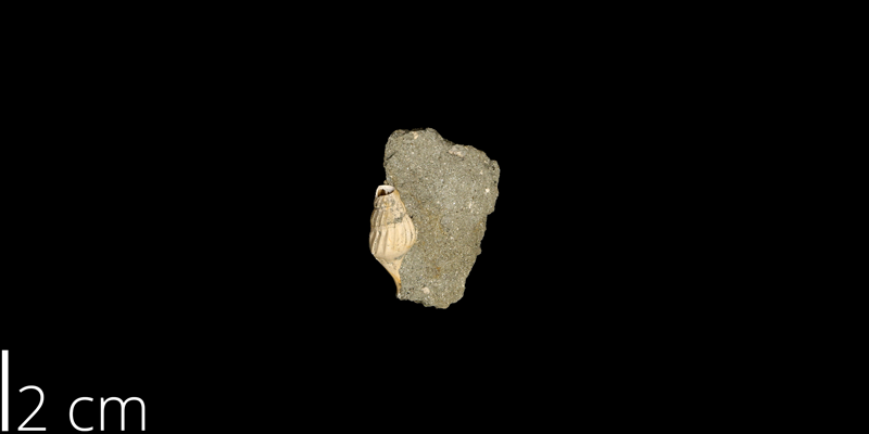 <i> Anchura calcaris </i> from the Maastrichtian Owl Creek Fm. of Tippah County, Mississippi (UNM 14861).