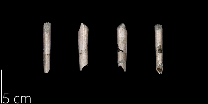 <i> Baculites claviformis </i> from the Maastrichtian Owl Creek Fm. of Tippah County, Mississippi (UNM 14826).