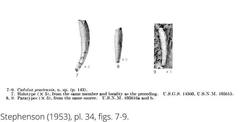 <i> Cadulus praetenuis </i> from the Cenomanian Woodbine Fm. of Texas (Stephenson 1953).