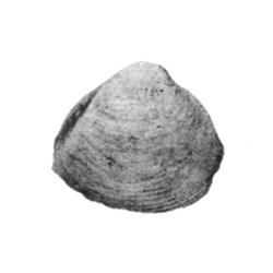 Caryocorbula tradingensis