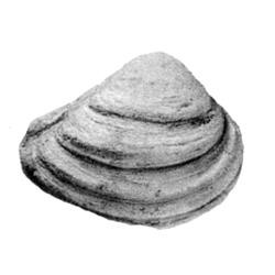 Caryocorbula varia