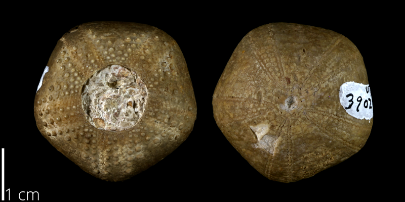 <i> Codiopsis texana </i> from the Late Cretaceous Buda Limestone Fm. of Travis County, Texas (UT 39028).