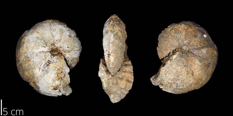 <i> Coilopoceras colleti </i> (UNM 3417).