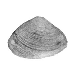 Corbula amniculana