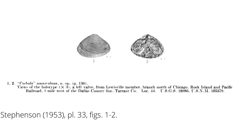 <i> Corbula amniculana </i> from the Cenomanian Woodbine Fm. of Texas (Stephenson 1953).