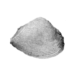 Corbula dentonensis