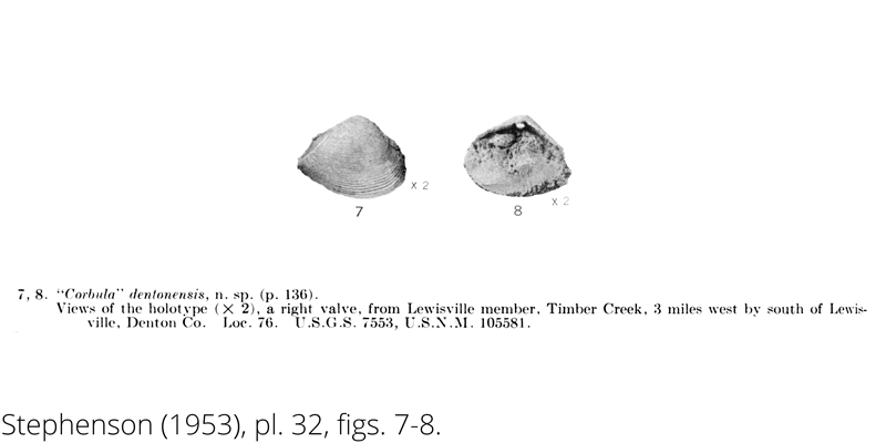 <i> Corbula dentonensis </i> from the Cenomanian Woodbine Fm. of Texas (Stephenson 1953).