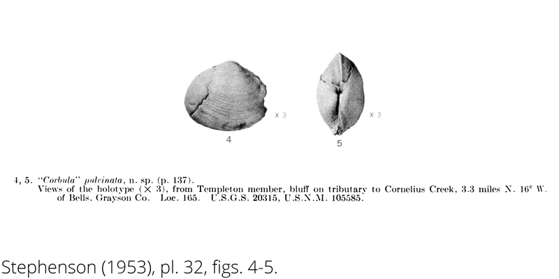 <i> Corbula pulvinata </i> from the Cenomanian Woodbine Fm. of Texas (Stephenson 1953).