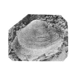 Corbula senecta